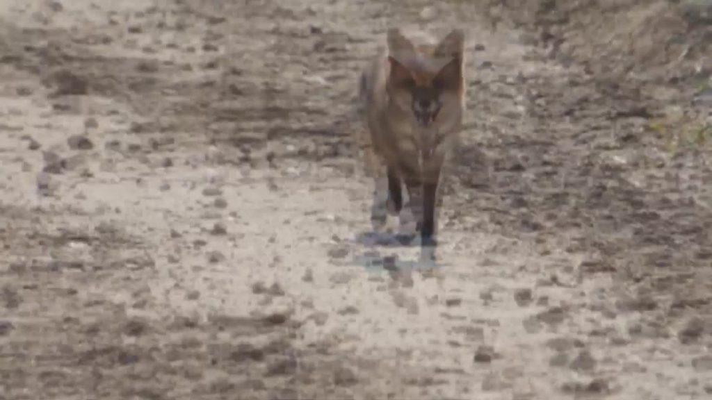 Discarica a Monte Carnevale: avvistata una volpe nell'area del cantiere 3