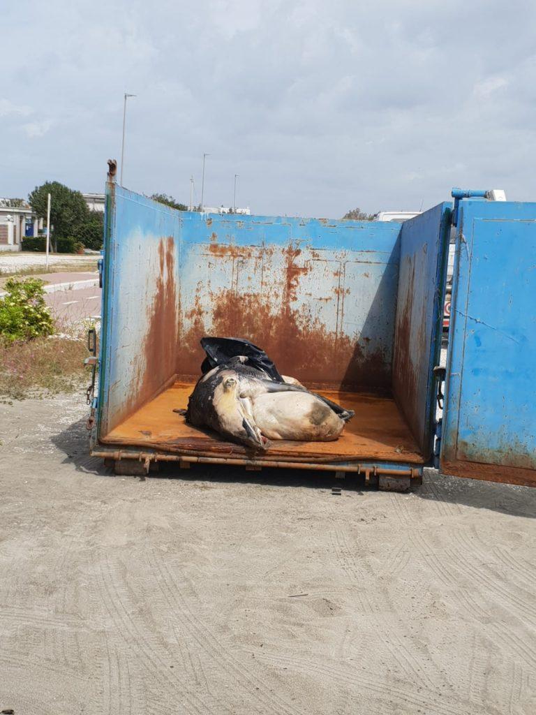 Fregene: È stata rimossa la balenottera trovata morta sulla spiaggia 1