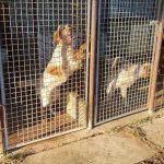 Cuccioli senza microchip: operazione delle Guardie Ecozoofile tra Ladispoli e Cerveteri 2