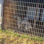 Cuccioli senza microchip: operazione delle Guardie Ecozoofile tra Ladispoli e Cerveteri 3