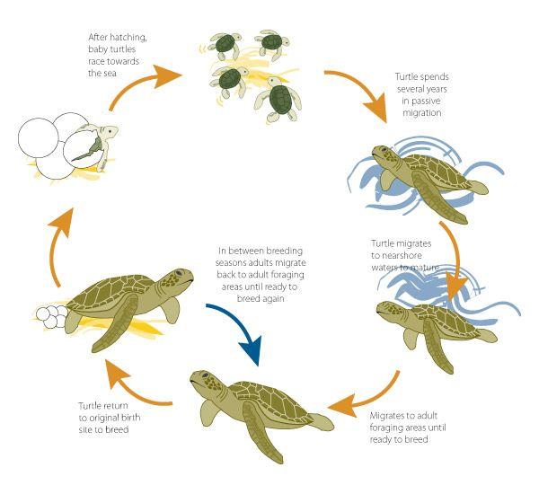 Tracciabilità delle rotte delle tartarughe marine 2
