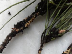 Moria dei pini, gli agronomi chiedono di sperimentare un mix di fitofarmaci 1