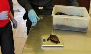 Focene, salvato cucciolo di tartaruga sbattuto a riva dalla mareggiata (VIDEO) 1