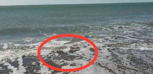 Il totano gigante filmato sulla spiaggia di Ostia
