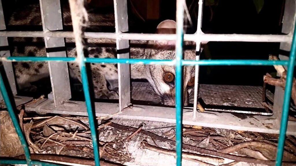 genetta pardina