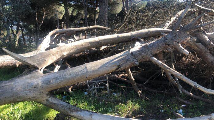 L'albero liberato dalle siringhe alle Acque Rosse