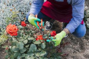 Passione rose: come coltivarle e dove trovare i più bei roseti nel Lazio 1