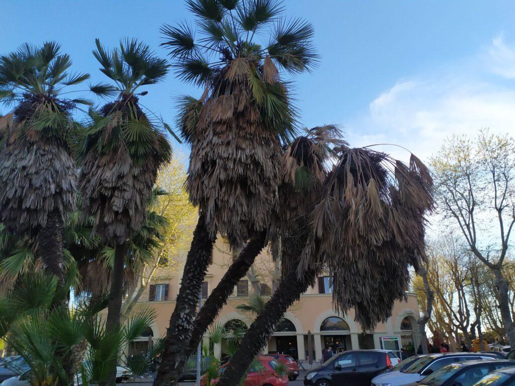 Ostia, moria di palme: nuovo parassita stermina quelle davanti al Municipio (VIDEO) 1