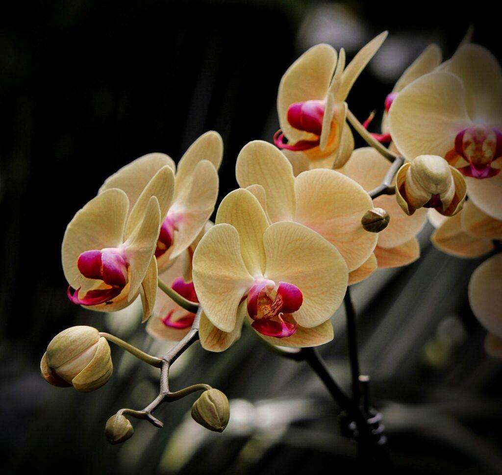 I migliori fiori contro lo stress sono le orchidee 1