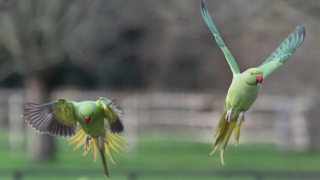 I pappagalli selvatici invadono Ostia e l'Infernetto 4