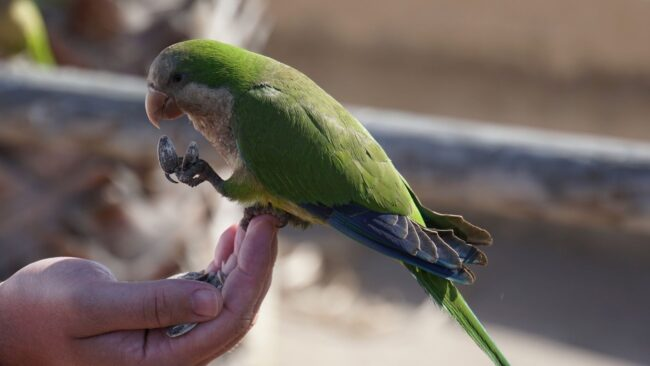 I pappagalli selvatici invadono Ostia e l'Infernetto 3