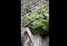 marijuana ostia