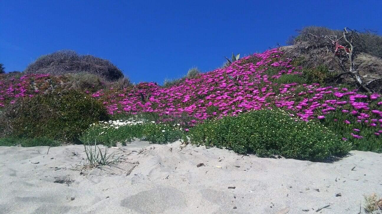 Capocotta in fiore: la natura dà spettacolo sul mare di Roma 3