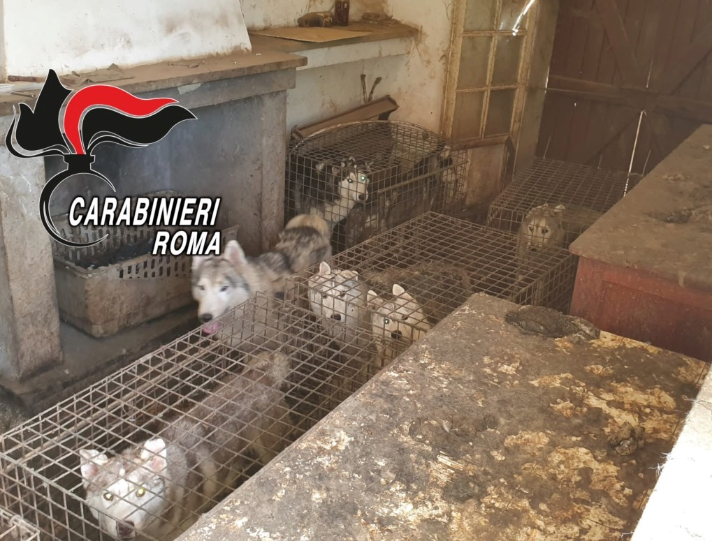 Scoperto allevamento lager con 110 cani Husky in un villino nei dintorni di Roma 1