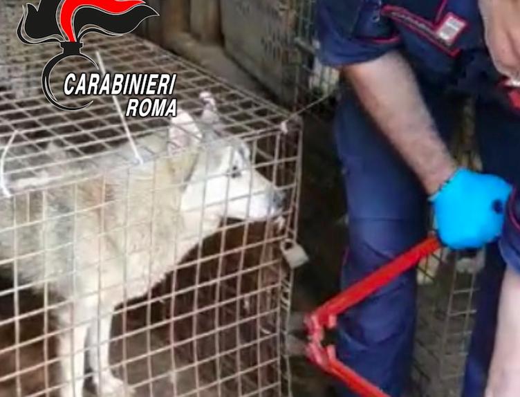 Scoperto allevamento lager con 110 cani Husky in un villino nei dintorni di Roma 2