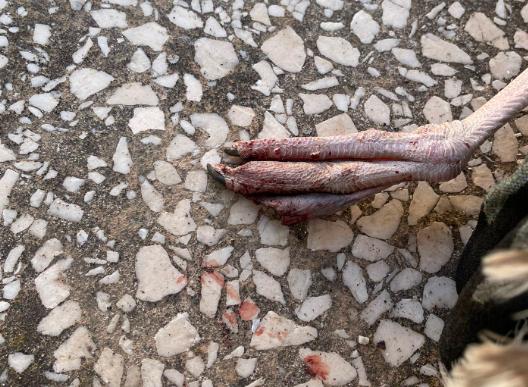 Gabbiani uncinati da ami da pesca salvati a Ostia e Fiumicino 1