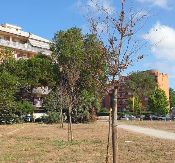 Ostia: il Municipio pianta quaranta alberi ma si dimentica di annaffiarli per mesi 2