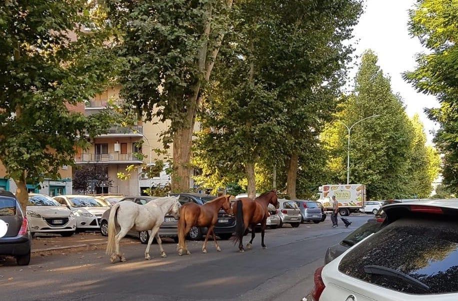 cavalli tra le auto marconi