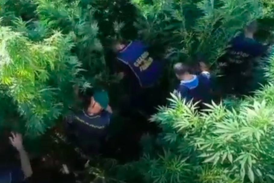 Ardea, scoperta piantagione di marijuana: un arresto e 360 kg di droga sequestrata (VIDEO) 2
