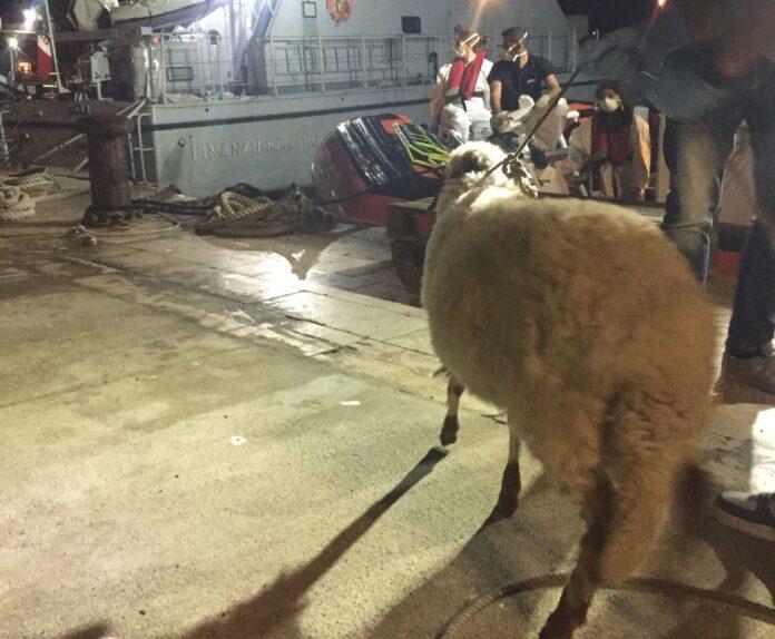 la pecora sbarcata a Lampedusa