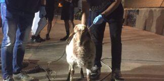 la pecora di Lampedusa